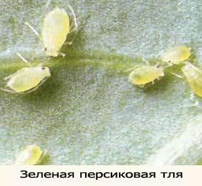 Вредители комнатных растений и борьба