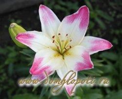 Лилия (Lilium) - посадка, уход, выращивание