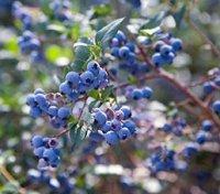 Голубика и все о ней, выращивание, уход, размножение