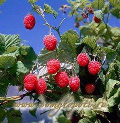 Малина - уход, выращивание, размножение